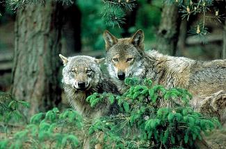 zwei Wölfe NABU/S. Zibolsky©NABU/S. Zibolsky